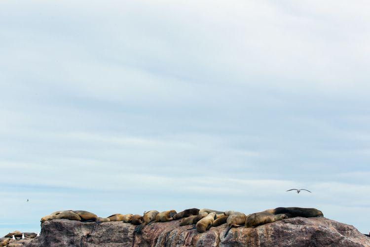 sealions, rocks, atlanticocean - izharmero | ello