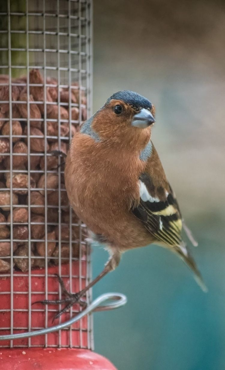 Winter visitor - Chaffinch - birds - c_wal | ello