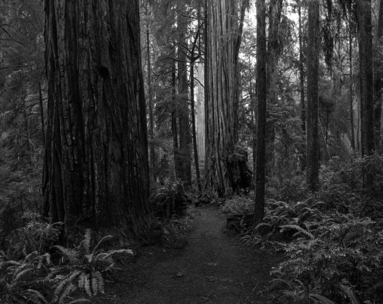 Forest trails Jedediah Smith St - aaronvizzini | ello
