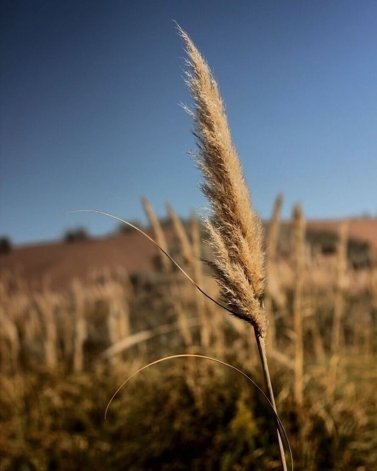Photography, Nature, Wheat, Plant - andygarrido   ello