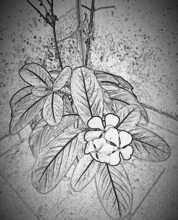 India, Flower, Black_and_white - atulbw | ello