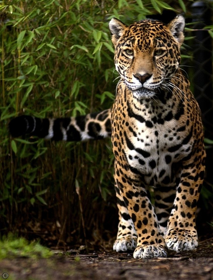 Jaguar - jaguar, animal, photography - sttopphoto | ello