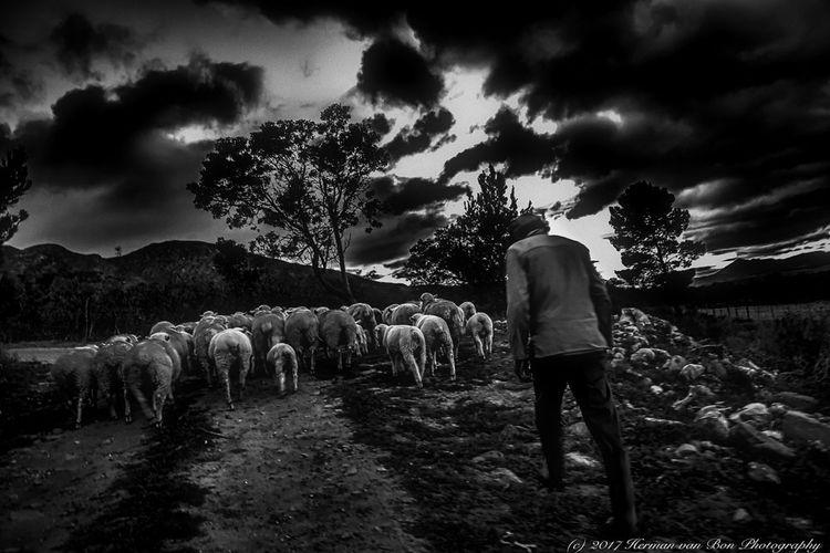 1) 'Herding Sheep' 2016. shephe - hermanvanbon | ello