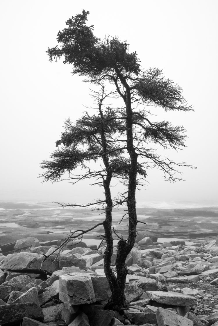 Lone Tree Acadia National Park - fadihage | ello