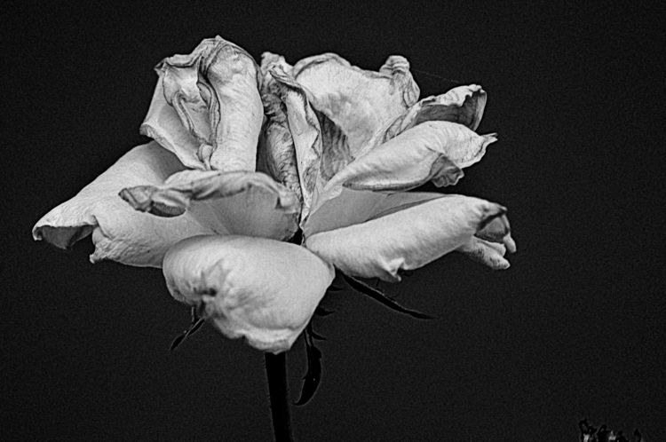blackandwhitephotograpy, rose - jsuassuna   ello