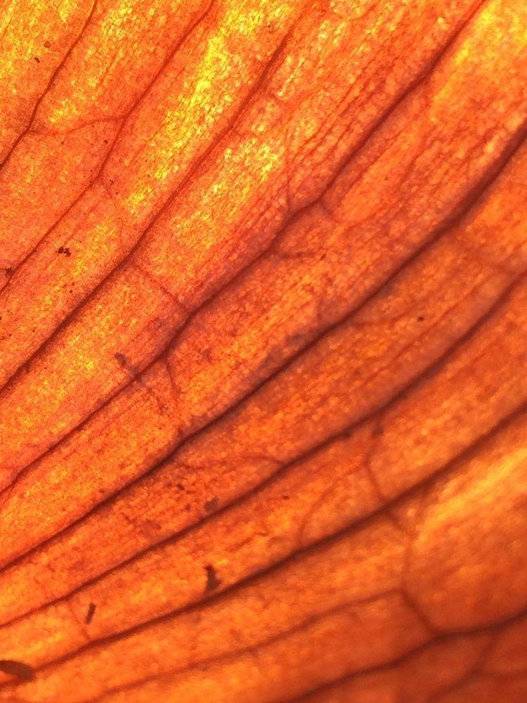 Onion skin - macro, closeup, photography - ivop | ello