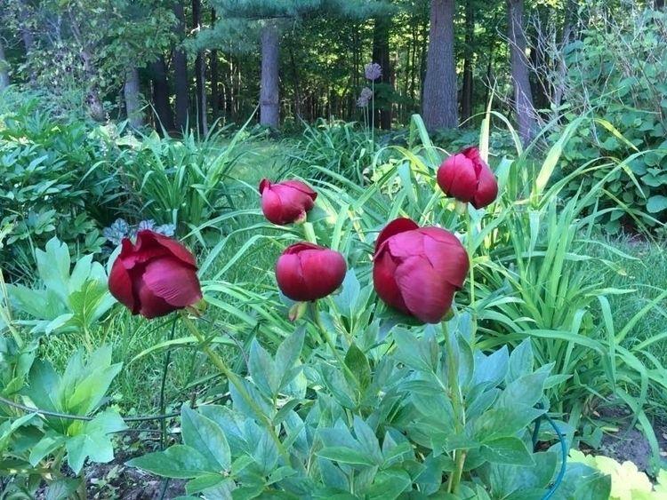 Peonies Rideau Lakes Garden! /  - danielasavage   ello