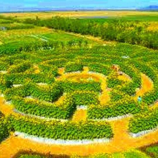 Sunflower Maze, Pangasinan - SunflowerMaze - vicsimon   ello