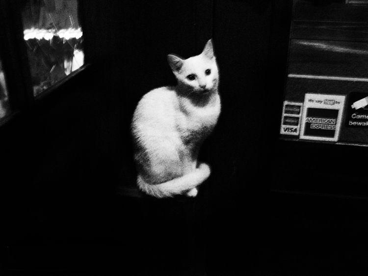 White Cat - petevanstein | ello