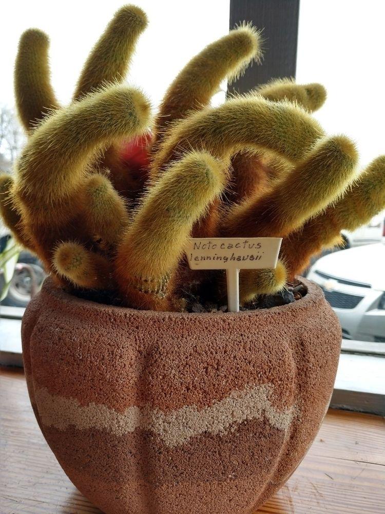Noto cactus: lenninghausii. Gla - rachelmary | ello