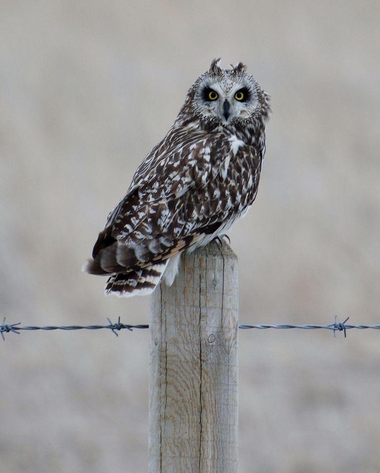 Short-Eared Owl (Asio flammeus - camwmclean   ello