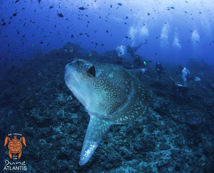 Amazing pic Mola-Mola. forget P - atlantisbalidiving | ello