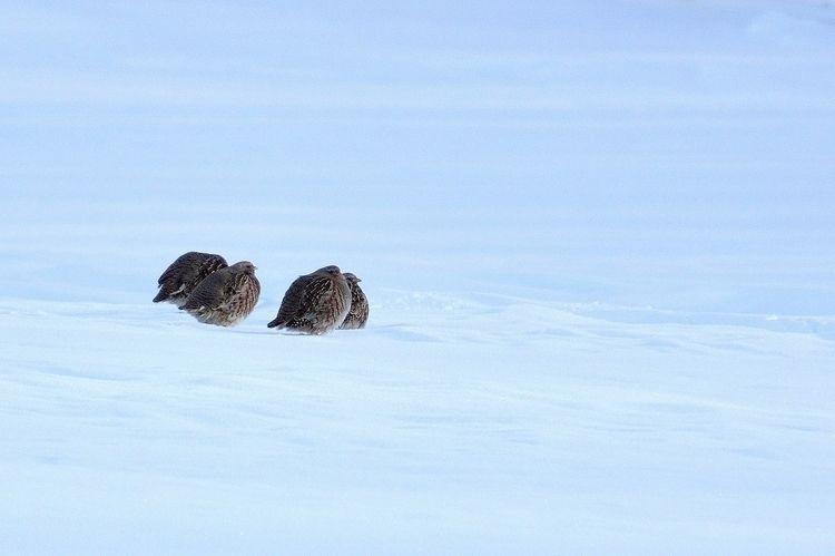 Waiting Spring Partridges unfaz - camwmclean | ello