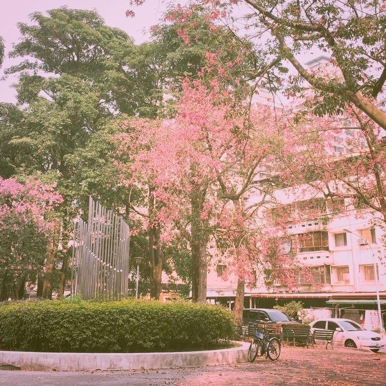 Prunus serrulata - vsco, vscocam - findingkasher | ello