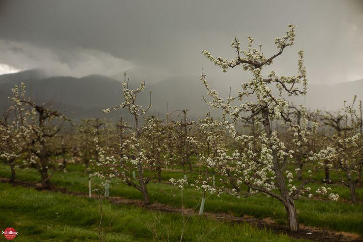 Blossoms Bluster; Springtime Pe - augustschilling | ello