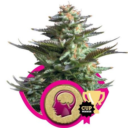 Royal Queen Seeds leading canna - sensibleseeds | ello
