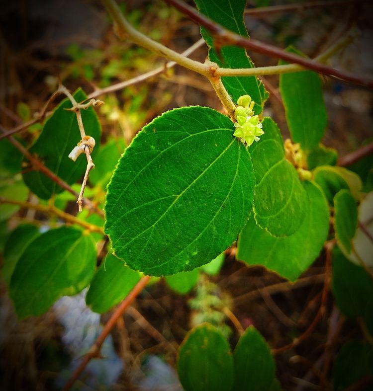 India, Leaves, Jujube, Flower - atulbw | ello