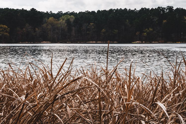 Reeds Tall grass grows shore la - mattgharvey | ello