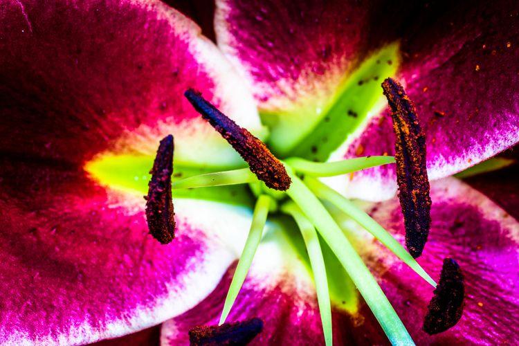 Liliaceae - sharkypics | ello
