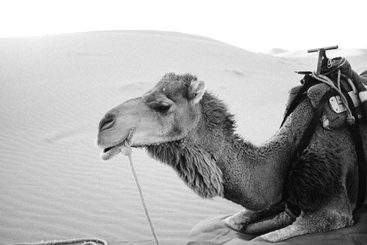 Wally dromedary / Sahara Morocc - artmcqueen | ello