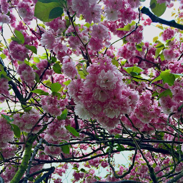 SpringTime, blossoms, London - fidelpix | ello
