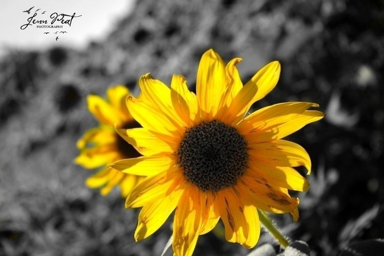 sunflower, sunflowerfields, colorsplash - peatypabla | ello
