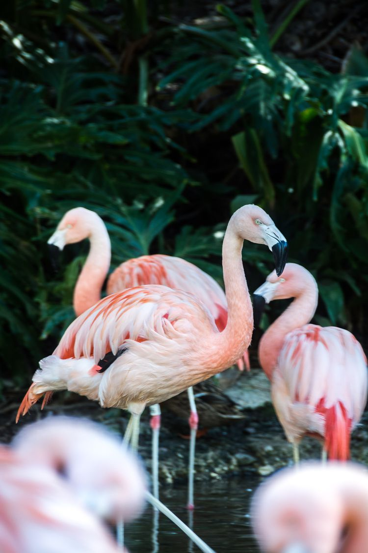 Flamingos   Los Ángeles, Califo - sentient-simian   ello