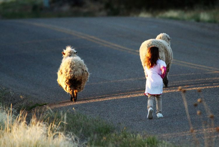 Neighbor girl bringing sheep go - tessjohnstone | ello