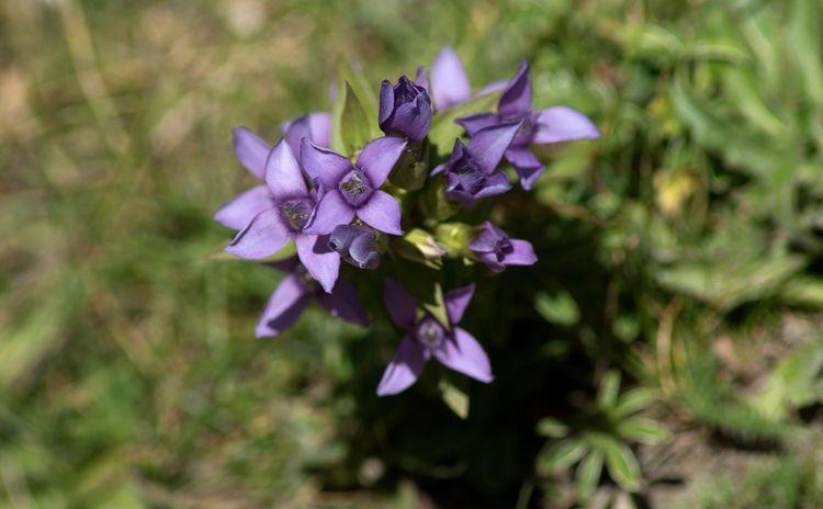 des gentianes violettes, bleues - gclavet | ello