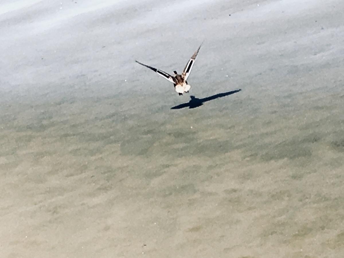 flew duck - iphone - katemoriarty | ello