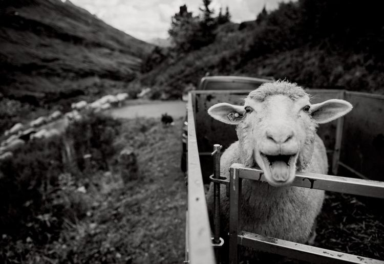 sheep, country, beautiful, nice - bedenkt | ello