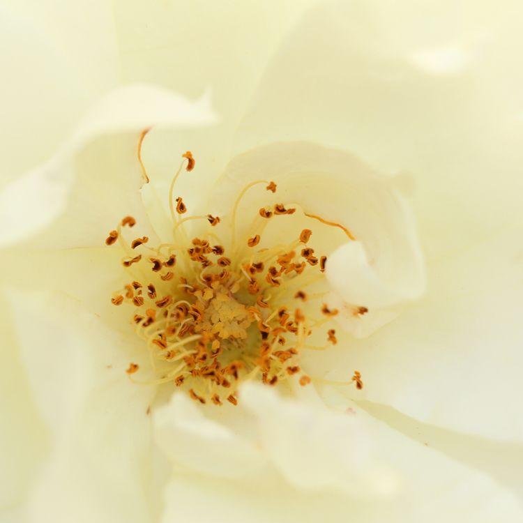 Sun Worship - Rose Macro Nov 17 - quadrapop | ello