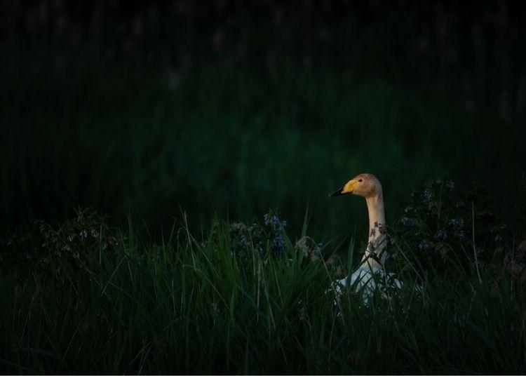 swan - bird, wildlife, photography - peter_skoglund | ello