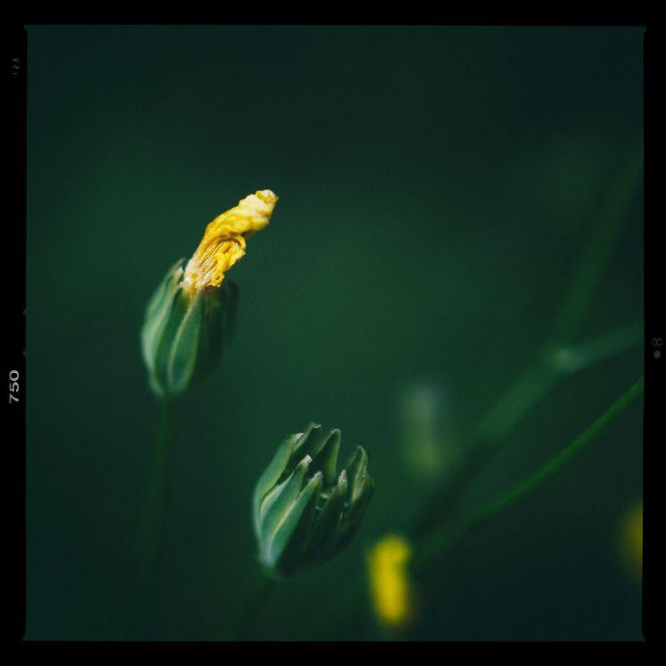 Torch - photography, macro, flower - marcushammerschmitt | ello
