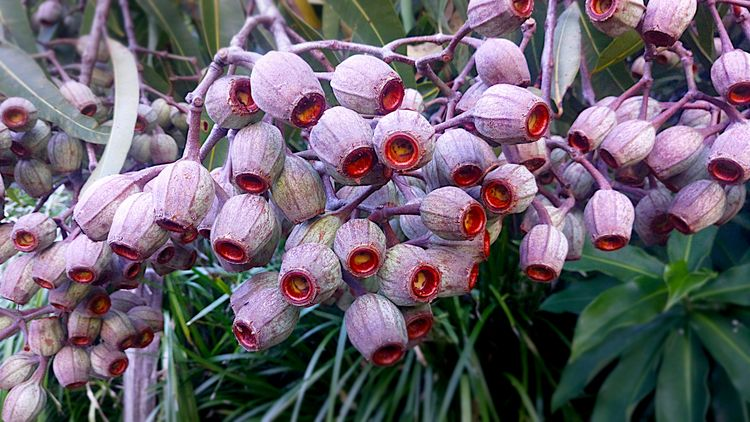 Gumnut Australian Eucalypts, lo - psnelling2011 | ello