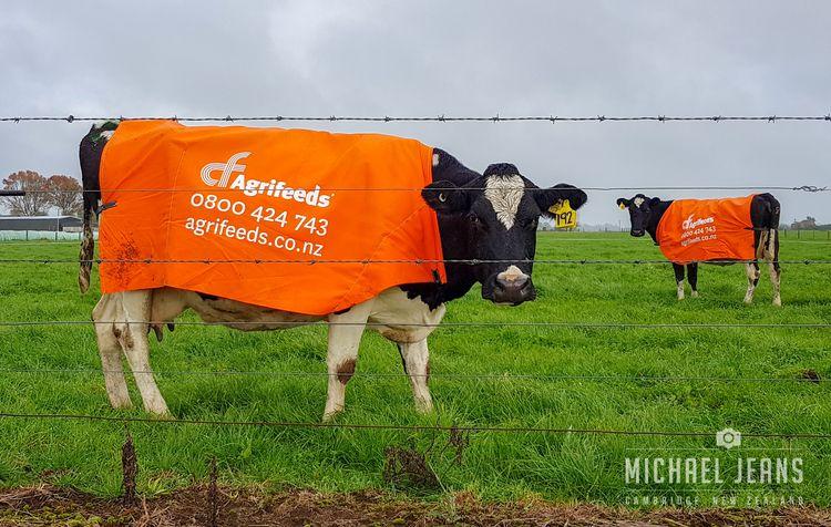 Cow billboards, Mystery Creek R - michaeljeans | ello