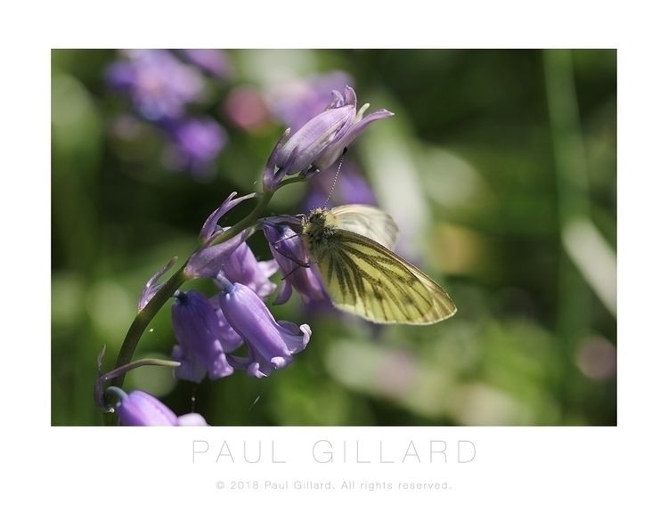 Title: Green-veined White butte - paulgillard | ello