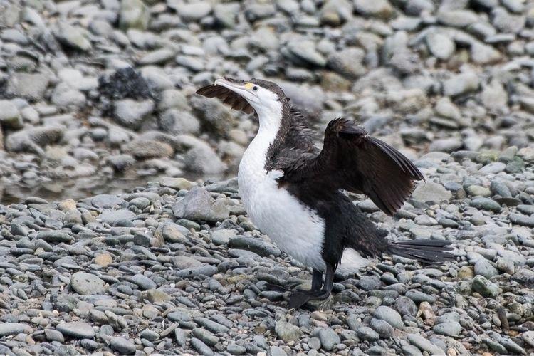 Pied Shag / Kāruhiruhi Phalacro - jt_wildlife | ello