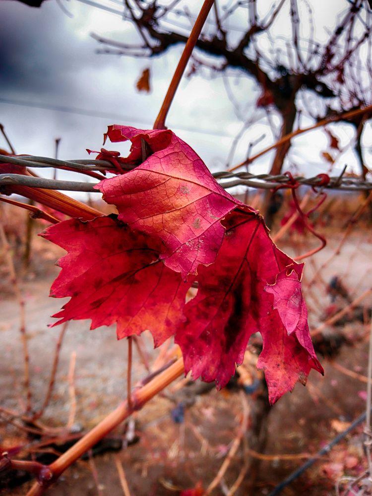leaf, red, intense, photography - jjackal | ello
