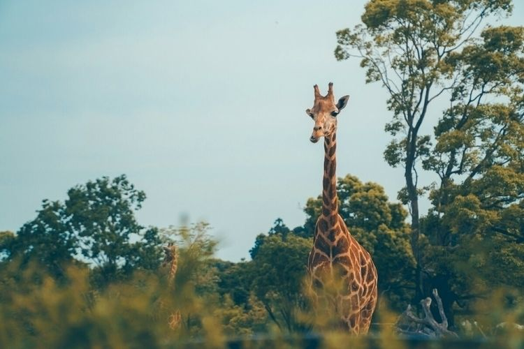 Hey, giraffe, giraffes cool...  - fokality | ello