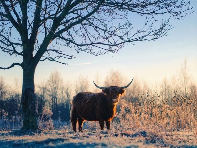 animals, color, cow, sunrise - klaasphoto | ello