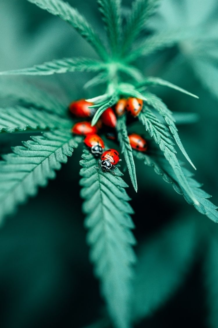macro, cannabis, macrophotography - olegphotos | ello
