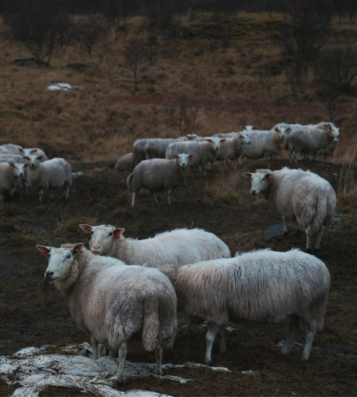 weeks pretty sheep head facing  - danmagatti | ello
