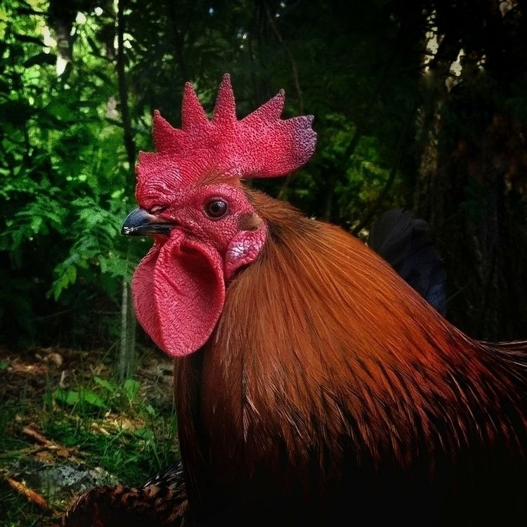 Rooster Jorma - rooster, nature - samtookthesephotos | ello
