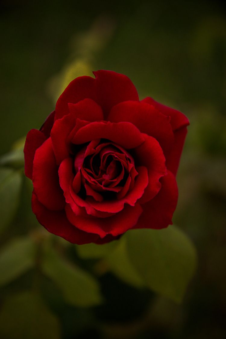 perfect rose. | - portugal - paulinafadrowska | ello