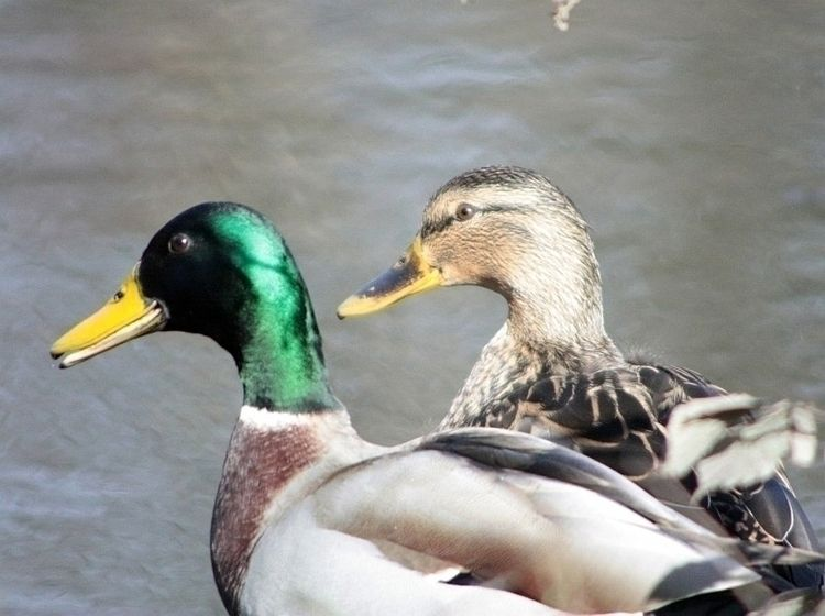 Ducks - taiban   ello
