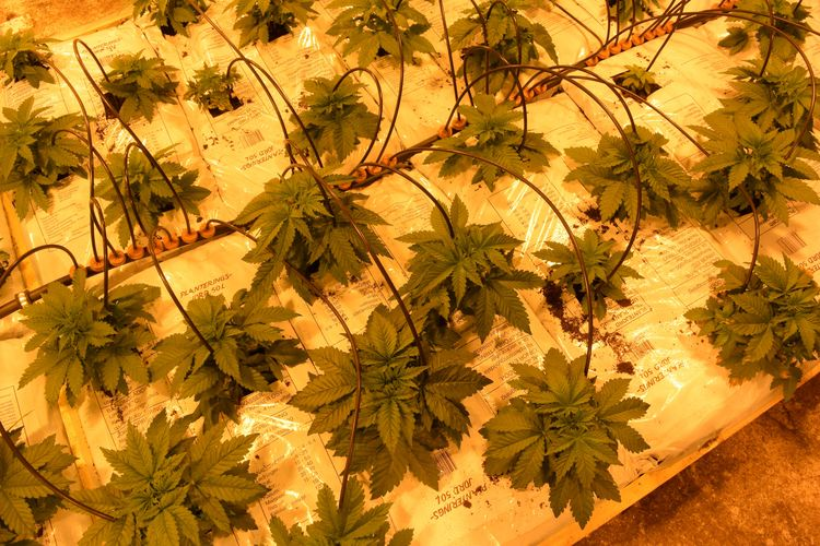 Small plants growing indoor fer - ministryofcannabis | ello