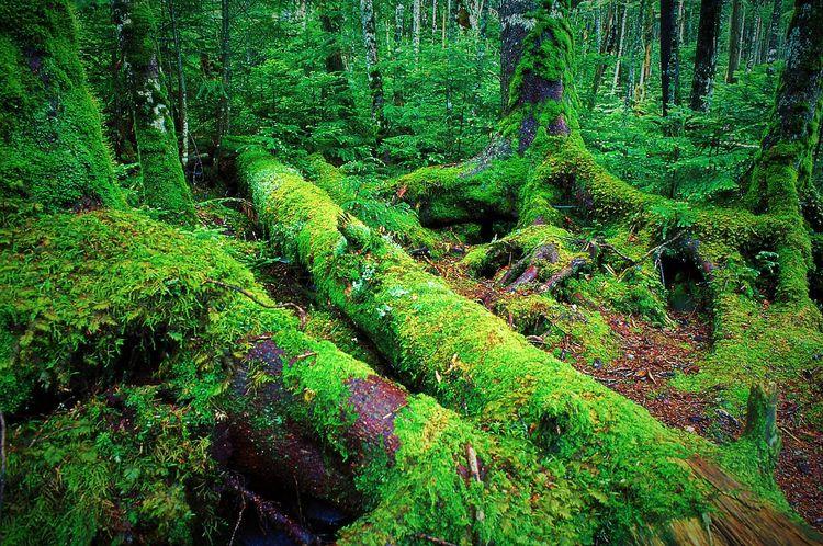 Primeval forest drizzle moss Ja - chikaraamano | ello