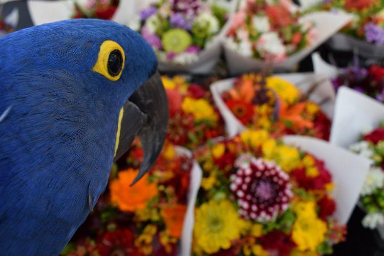 Hyacinth Macaw Princess Tara ch - michaelostrogorsky   ello