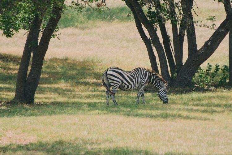 🦓 Zebra San Antonio, Texas - nature - benraigoza | ello